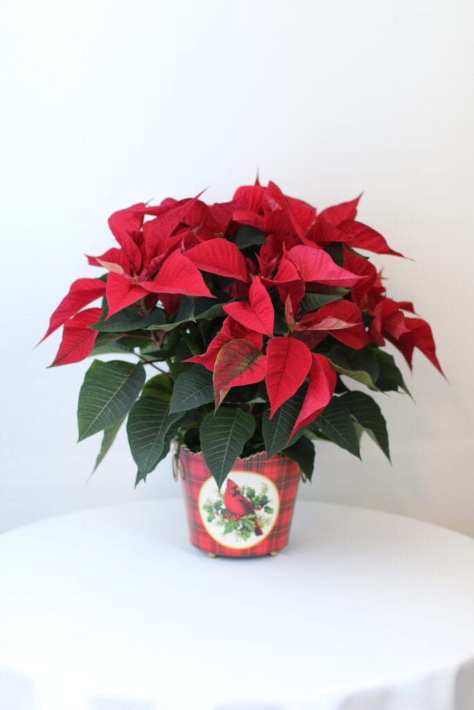 poinsettia flowers on a red vase